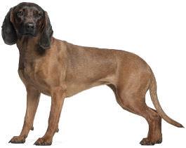 Bayerischer Gebirgsschweißhund Wesen