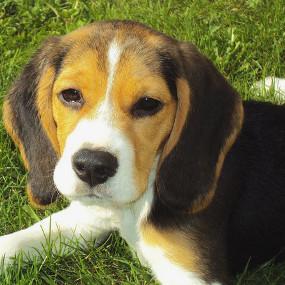 liegender Beagle