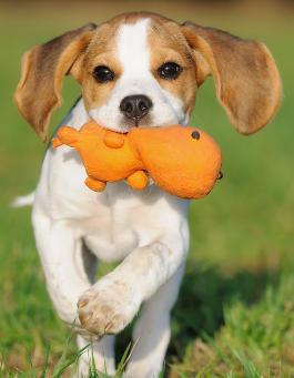 Beagle Hund Charakter Wesen Der Hunderasse Futalisde