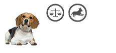 Beagle Senior mit Übergewicht