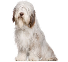 Bearded Collie Wesen