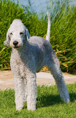 Bedlington Terrier Rassemerkmale
