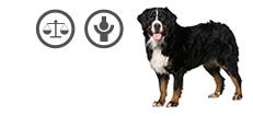 Berner Sennenhund mit Übergewicht