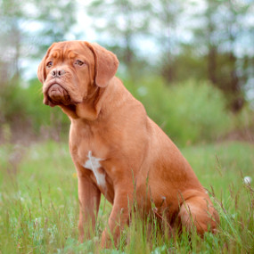 Bordeaux Dogge Kachel 1