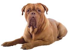 Bordeaux Dogge Wesen