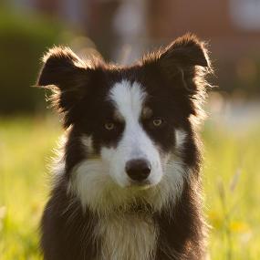 Mittelgroße Hunderasse: Australian Shepherd