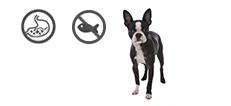 Boston Terrier Hündin mit Allergien