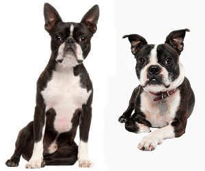 Boston Terrier Wesen