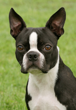 Boston Terrier Rassemerkmale