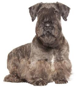 Cesky Terrier Wesen