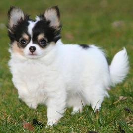 Chihuahua Kachel 1