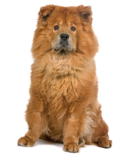Chow Chow Wesen