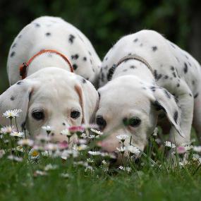 Dalmatiner im Gras