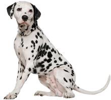 Dalmatiner Wesen