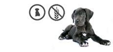 Deutsche Dogge Welpe mit Glutenunverträglichkeit