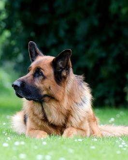 Deutscher Schäferhund Rassemerkmale