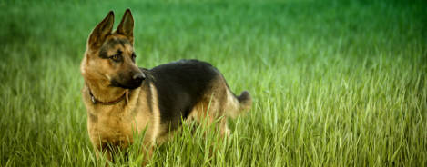 Deutscher Schäferhund Wesen