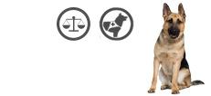 Deutscher Schäferhund Gebrauchshund mit Untergewicht