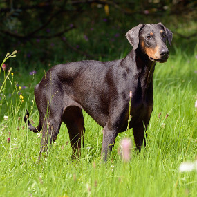 Große Hunderasse: Dobermann