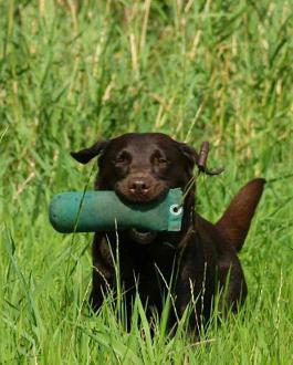 Labrador Retriever beim Dummytraining