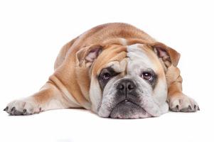 Englische Bulldogge Wesen