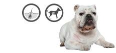 Englische Bulldogge mit einer Hauterkrankung
