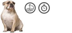 Englische Bulldogge Senior mit Verdauungsproblemen