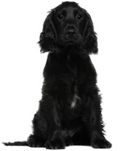 English Cocker Spaniel Wesen