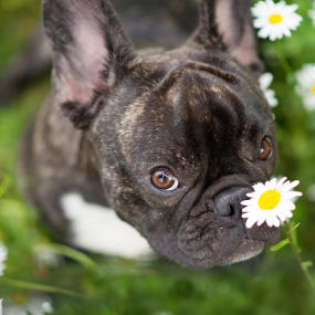 Französische Bulldogge Kachel 2
