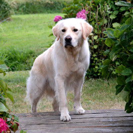 Golden Retriever Kachel 2