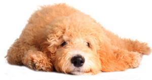 Hybridhund Goldendoodle