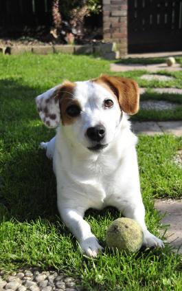 Jack Russell Terrier Rassemerkmale