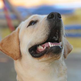 Labrador Retriever Kachel 1