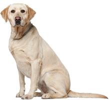 Labrador Retriever Wesen