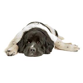 Landseer - Hundefutter große Hunderassen