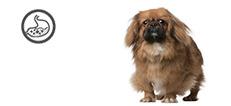 Pekingese Junghund mit Verdauungsproblemen