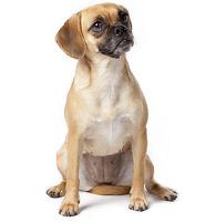 Hybridhund Puggle