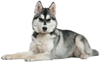 Siberian Husky Wesen