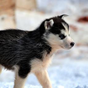 Siberian Husky Kachel 1