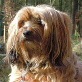 Tibet Terrier Kachel 2