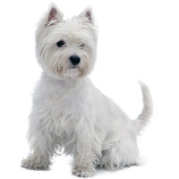 West Highland White Terrier Wesen