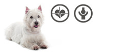 West Highland White Terrier Senior mit Herzproblemen und Arthrose