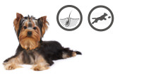 Yorkshire Terrier Zuchthund