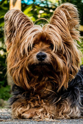 Yorkshire Terrier Rassemerkmale