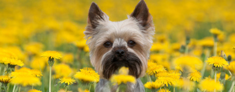 Yorkshire Terrier Rasseportrait