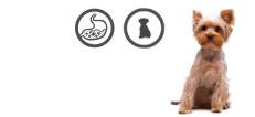 Yorkshire Terrier Junghund mit sensibler Verdauung