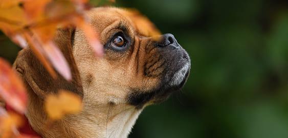 Puggle - Mops Beagle Mischling