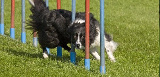 Hütehund Border Collie beim Sport
