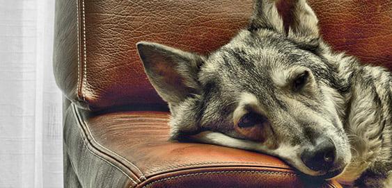 Hund kratzt sich: Milben?