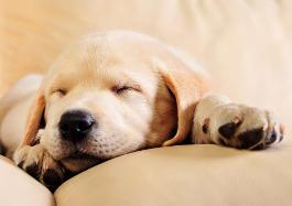 Welpe schläft